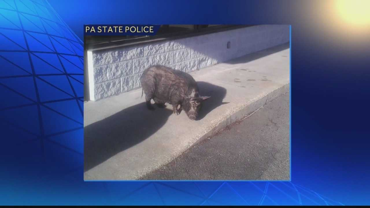 Customers were surprised to see a pig outside a Burger King restaurant in Western Pennsylvania on Thursday morning.