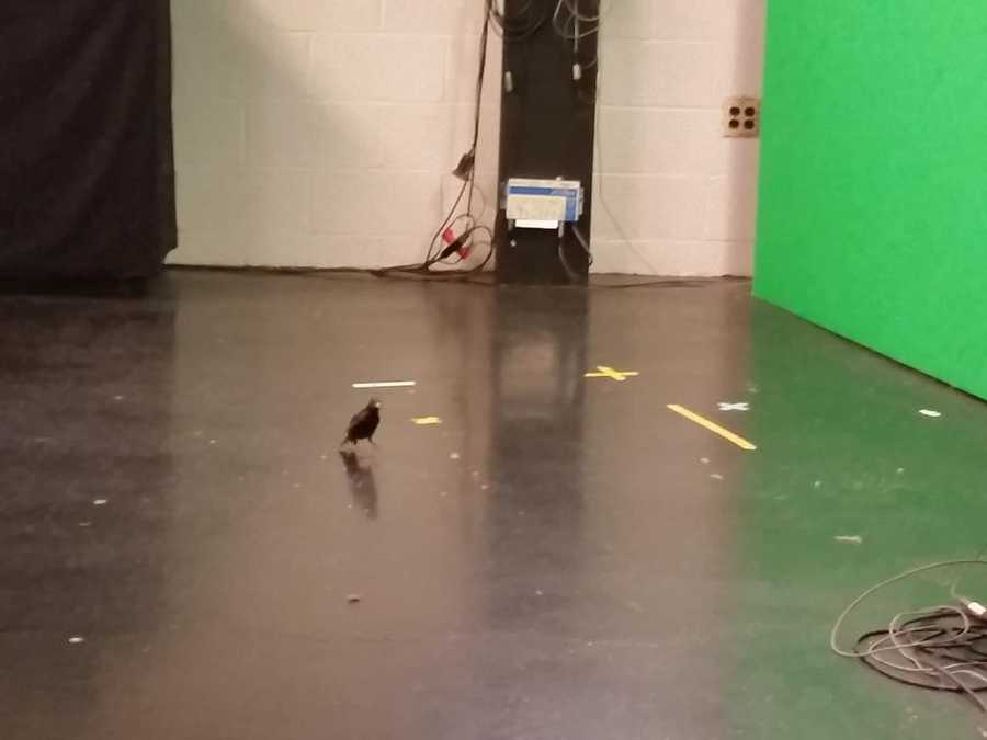 "Pittsburgh's Action Weather meteorologist Ray Petelin got a visit from a feathered friend while putting together today's forecast and tweeted out updates on their time together.@Ray_WTAE: ""The Bird wants to do the forecast at the weather wall."""