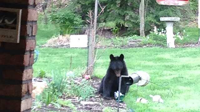 A bear was seen in the backyard of a house on Murry Highlands Circle in Murrysville.