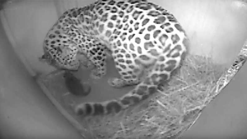 A webcam image of the new Amur leopard cub with its mother, Candy.