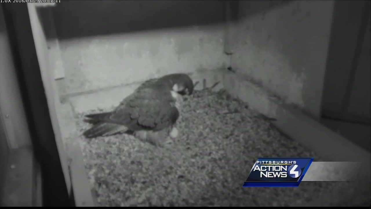 img-Third chance at love for Peregrine Falcon Hope