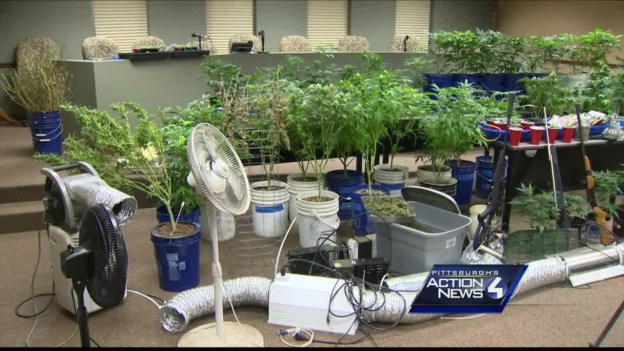 marijuana plants growing operation