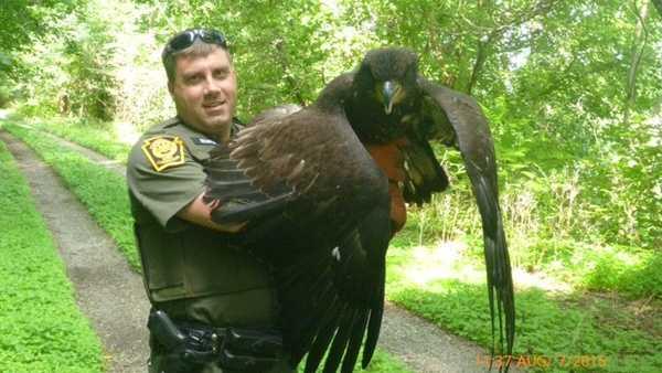 Bald eagle found