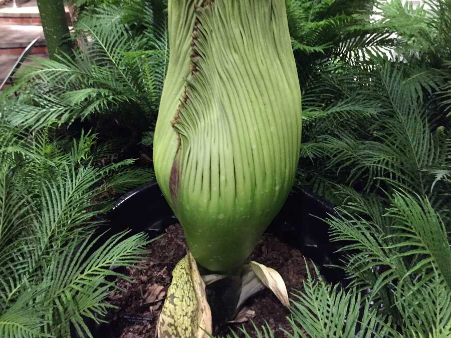 """Romero,"" the corpse flower."
