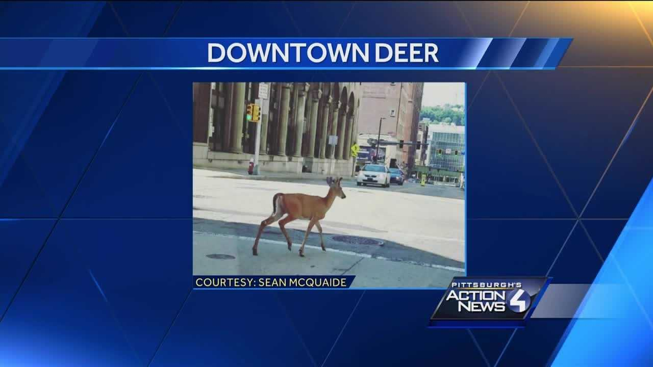 A deer was shot and killed Sunday morning after wandering into downtown Pittsburgh.