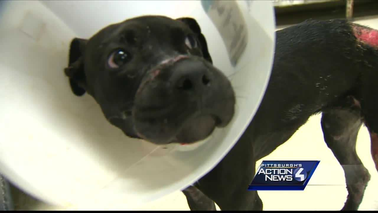 An apparently abused pit bull was dropped off at the Animal Rescue League Tuesday after someone found her in Oakland.
