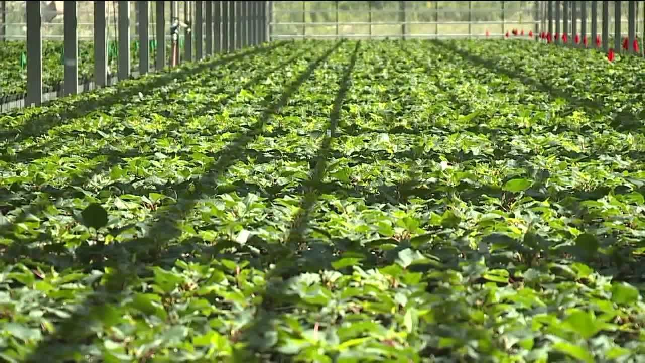 A new business may be blossoming for the owners of Van Hoekelen Greenhouse... growing medical marijuana.