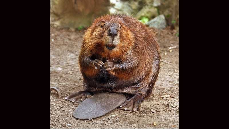 Beaver, rodent