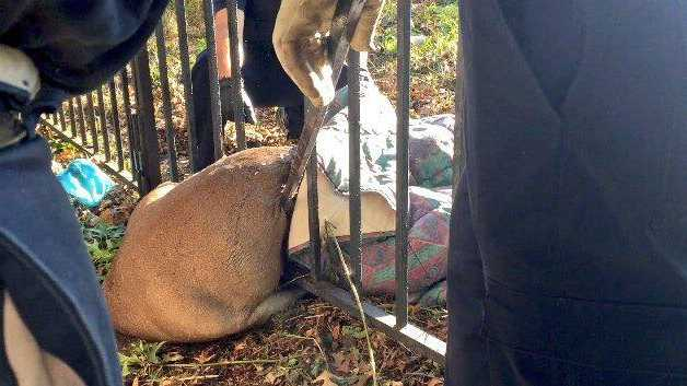 Police, Animal Care and Control and the Pittsburgh Public Works Department worked to rescue a frightened deer trapped in a fence in Fineview Tuesday afternoon.