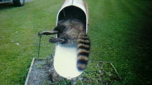 A Ligonier teacher says she found this dead raccoon in her mailbox.