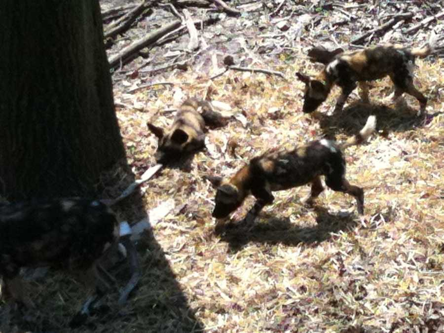 African Painted Dogs tear apart a fire hose to get food