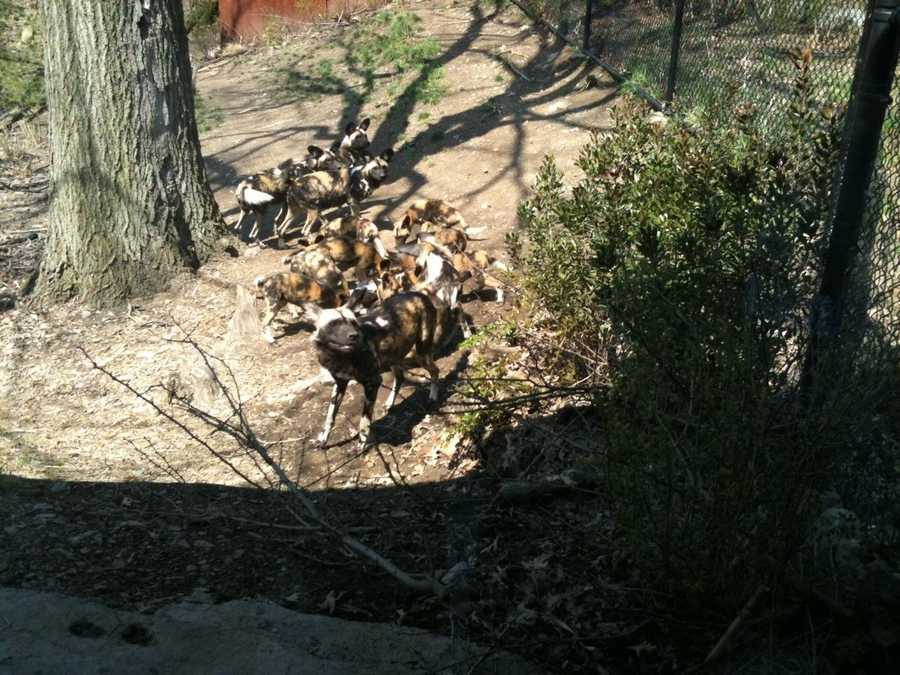 Overhead view of five adults and eight pups in the African Painted Dog pack
