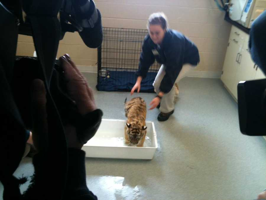The 3-month-old daughter of Toma was taken from mother because of an infection that left her critically ill. The tiger is now a healthy cub.