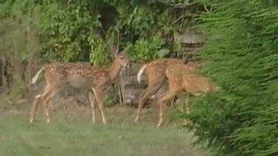 Deer - 14098417