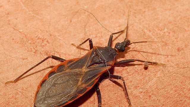 "Triatomine, also known as ""kissing bugs"""