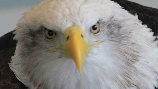 Eagle, bald eagle