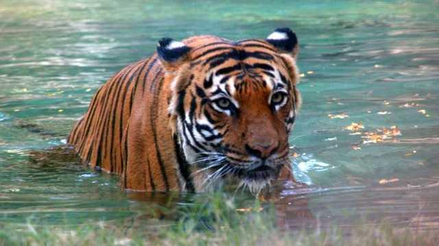 Malayan_Tiger
