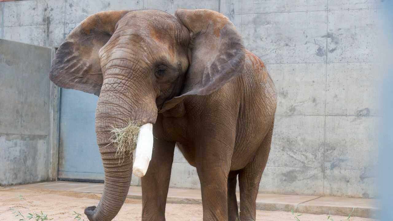 bulwagi the elephant (bhm zoo).jpg