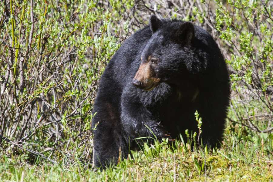 The black bear was named the state mammal in 2006.