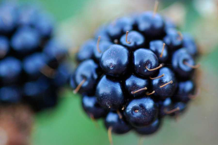 The blackberry was named the state fruit of Alabama in 2004.