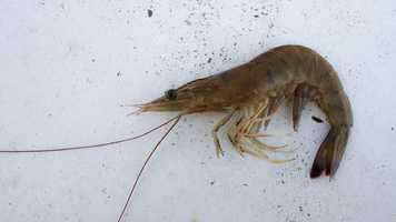 The brown shrimp was named the state crustacean in 2015.