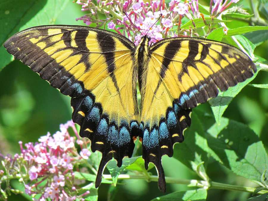 The eastern tiger swallowtail was adopted as the state butterfly & mascot in 1989.