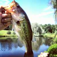 The largemouth bass was named the state freshwater fish in 1975.