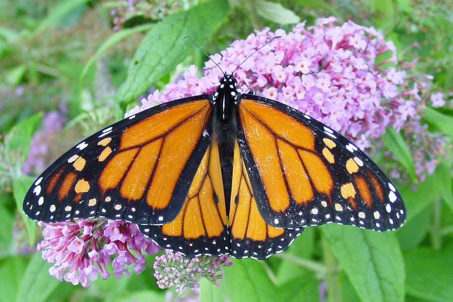 The monarch butterfly became the state insect in 1989.