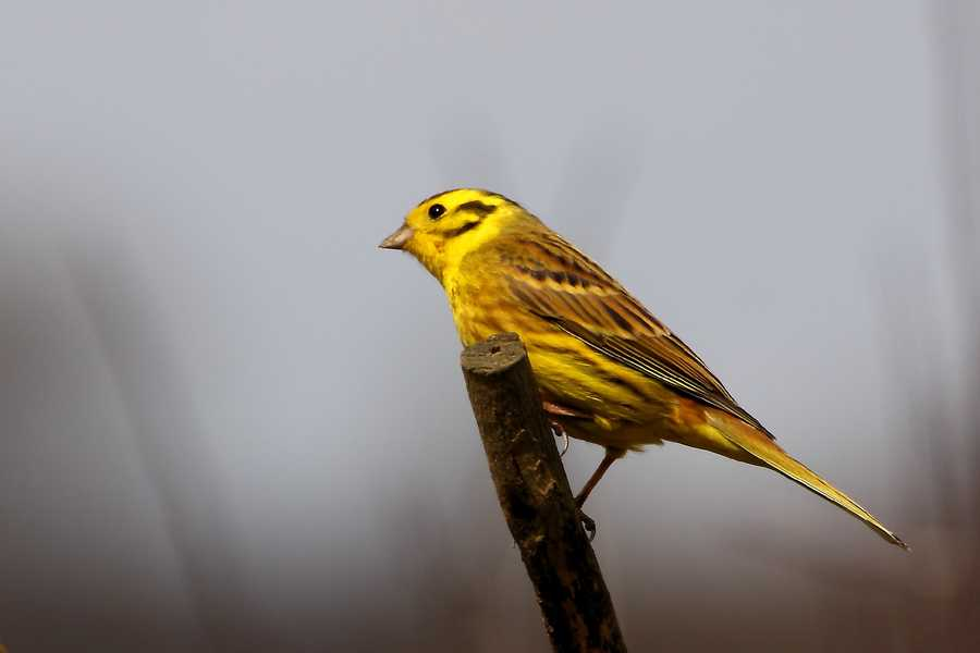 The yellowhammer was named the state bird in 1927.