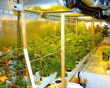 Marijuana plants in basement (Rockingham Co. Sheriff's Office)