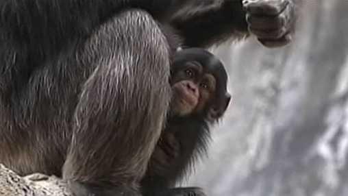 Baby chimp at Los Angeles Zoo (KNBC)