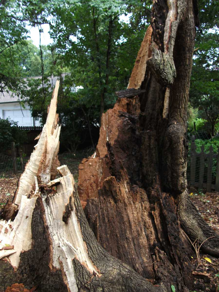 The giant tree was snapped like a match stick.