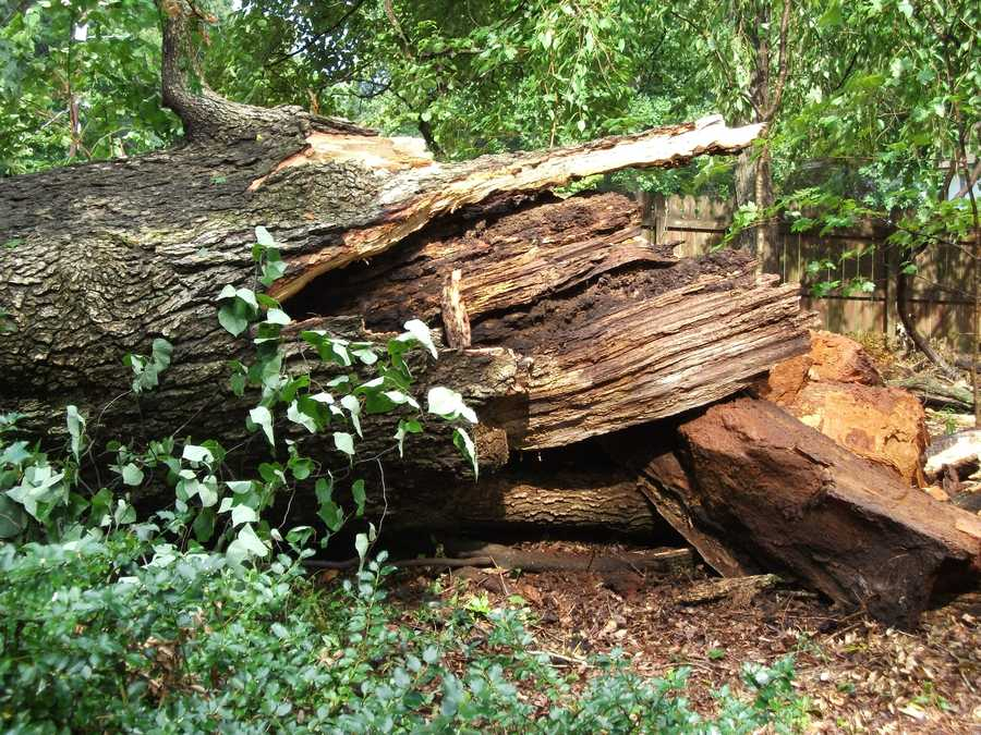 The trunks of the trees that fell look like they were twisted and snapped.