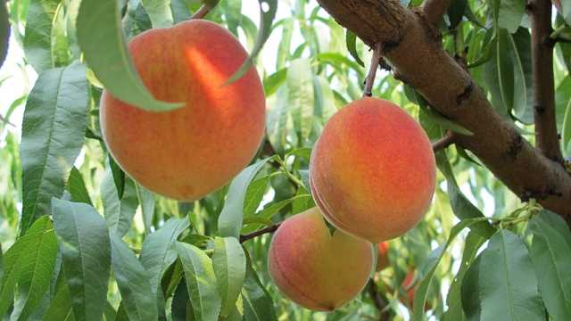 Drought georgia peach growers