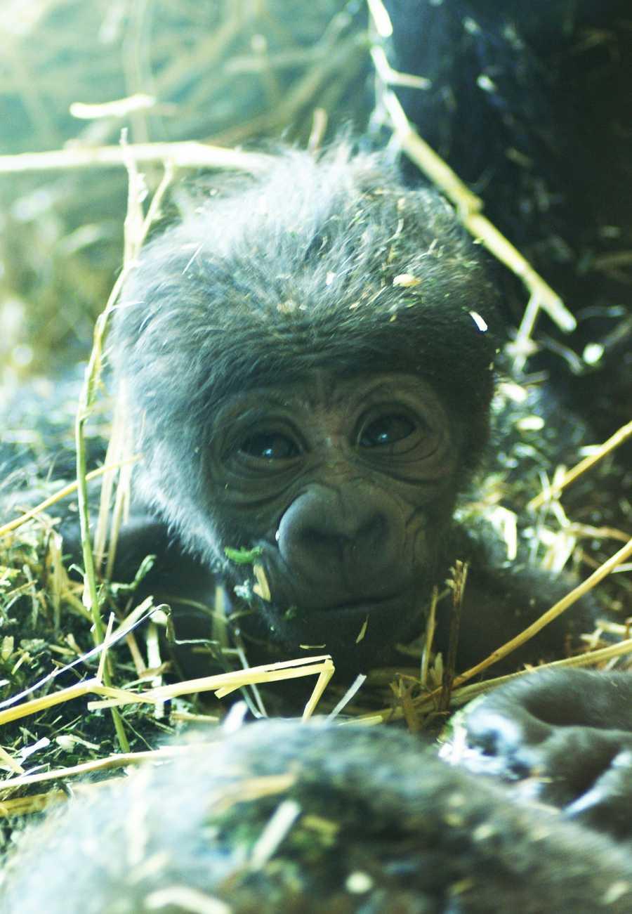 A healthy male gorilla was born Saturday at the North Carolina Zoo. (Photo from NC Zoo)