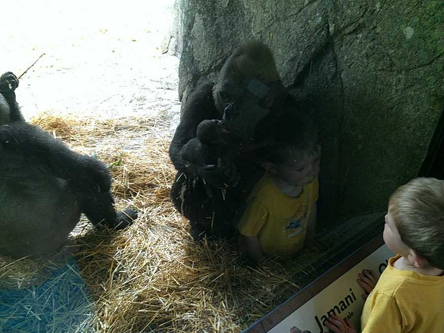 The birth is only the second gorilla born at the N.C. Zoo. The other was born in 1989 and later transferred to Chicago's Lincoln Park Zoo.