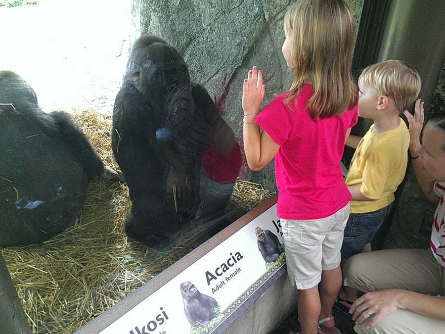 """Zoo officials said the gorilla was born to 12-year-old """"Jamani."""" (Photo by WXII's Margaret Johnson)"""