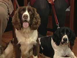 Springer Spaniel Rescue - Hector and Libby
