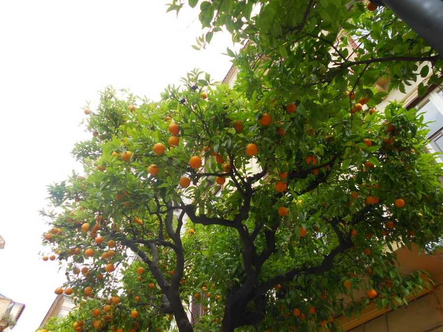 Breakfast in a tree! Orange groves and gardens are in several areas in Sorrento, Italy. Nice photos for couples having fun on their honeymoon.