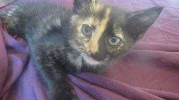 This little tortie is only 4-months-old and looking for that special place to run, play and snuggle in. Bonnie hasn't yet met a challenge for this fearless little kitten. She would make a great addition to any household looking for fun and adventure from a curious little kitten that will grow into a lifetime of love and affection.