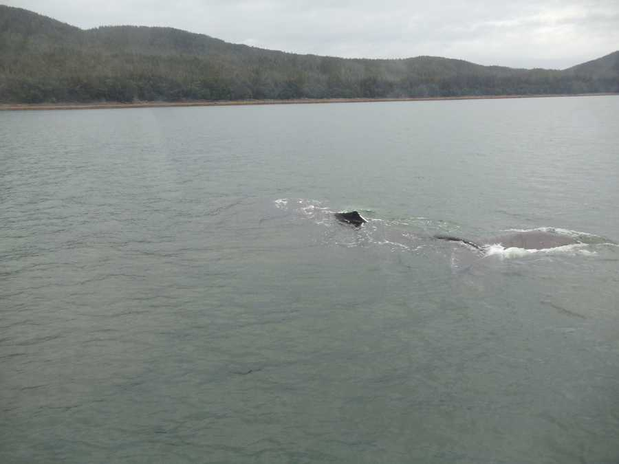While cruising the tour group spotted a Humpback whale in the waters in Juneau, Alaska.