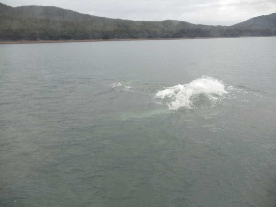 The tour group was really excited to get to see this Humpback whale swimming in the water in Juneau, Alaska.