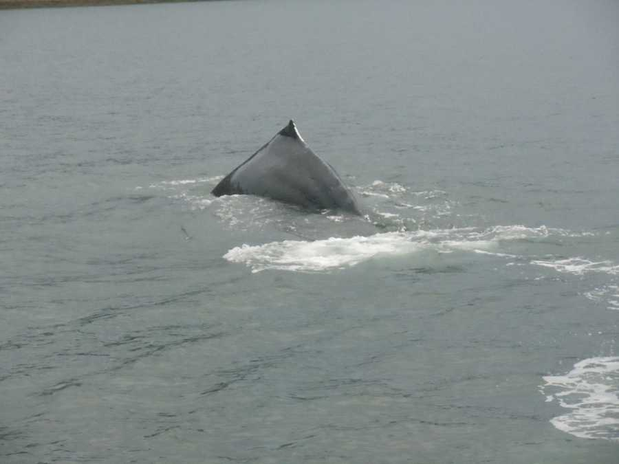 The Humpback whales in Juneau, Alaska are incredible to watch swimming in the cool waters.