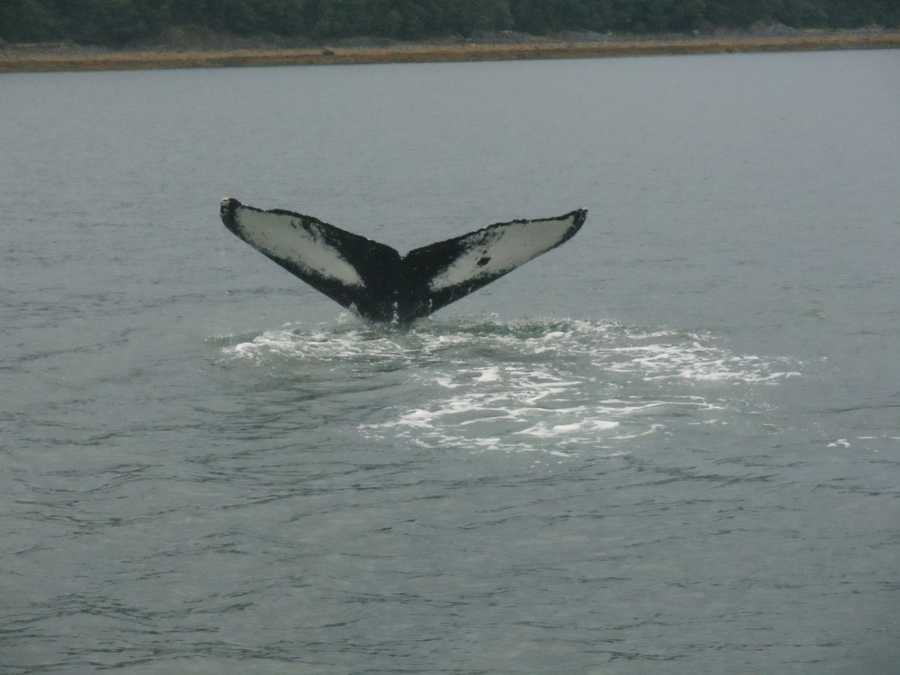 Watching the whales tail disappear in the water of Juneau, Alaska.