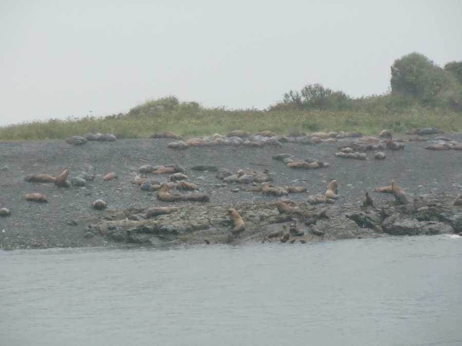 Seals relaxing on land in Juneau, Alaska was a sight the tour group rarely gets to see.