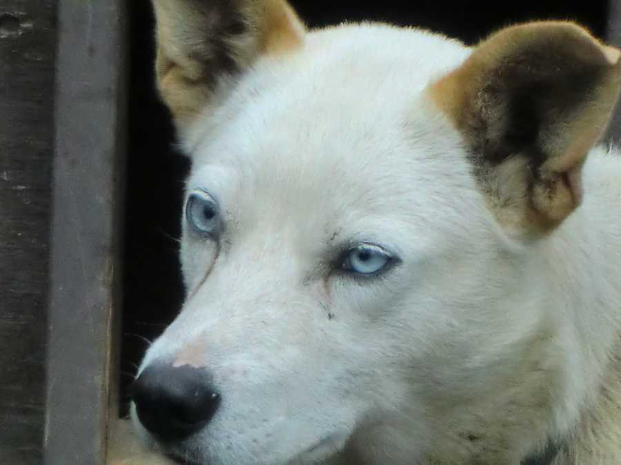The White Alaskan Klee Kai is breeded for great pets.