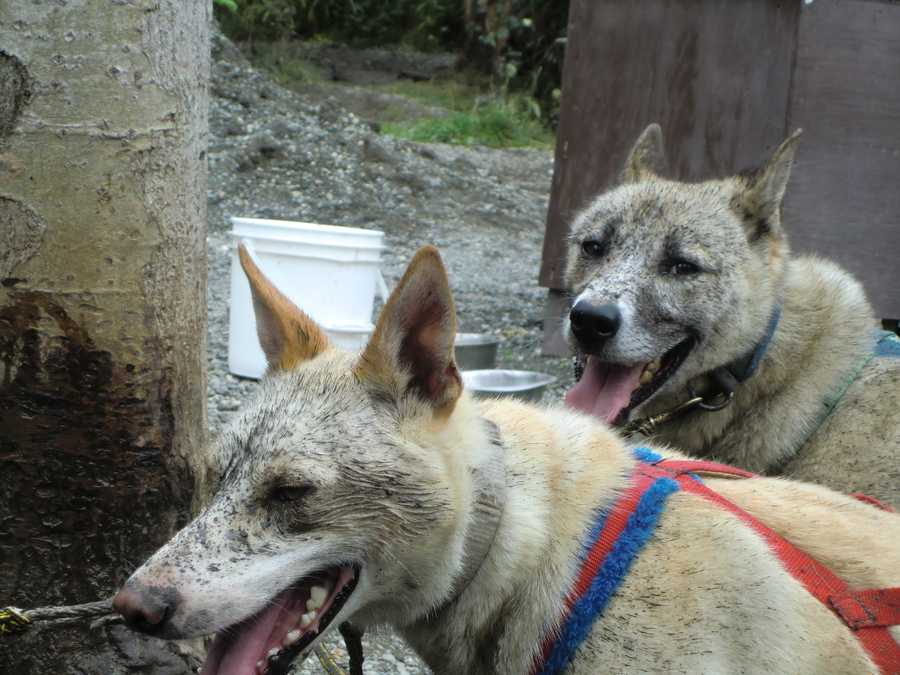 The IditarodTrail Sled Dog Raceis the most famous in Alaska. Several years and months of training for these powerful dogs to win.