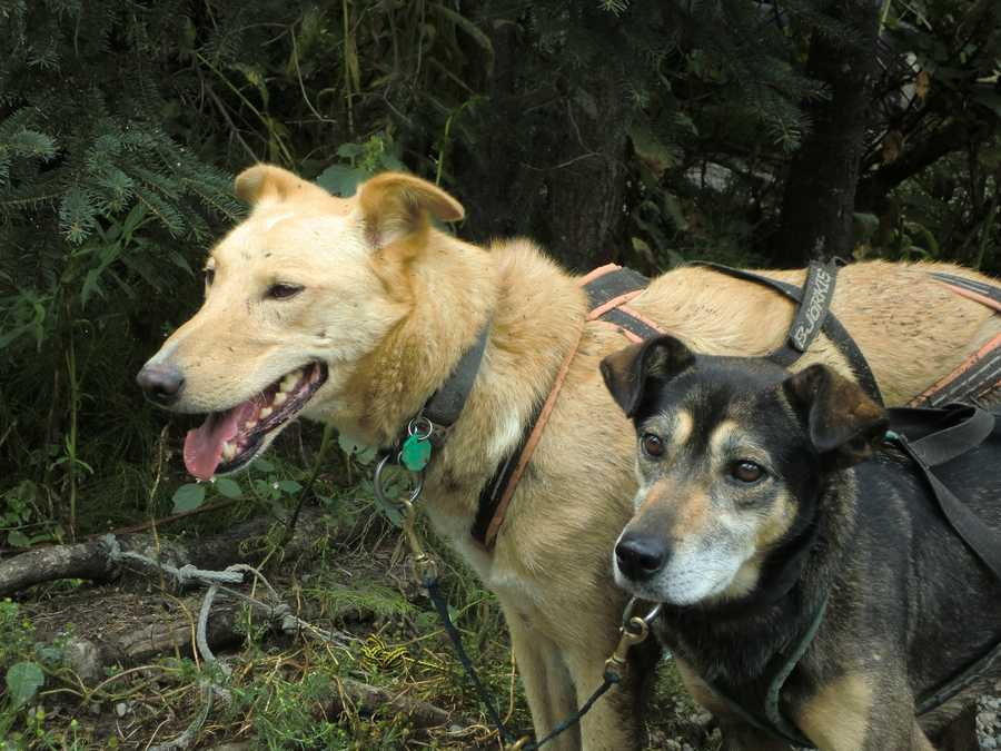 Sweet dogs practice and train throughout the year with their owners to winThe IditarodTrail Sled Dog Racein Wasilla, Alaska.