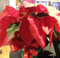 Poinsettias are great Christmas or Holiday flowers to use in the themed wedding because the couple can use white or red ones.
