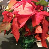The florist can also paint them, for instance white Poinsettias can be painted to have some light blue hints to make the winter color palette come out.